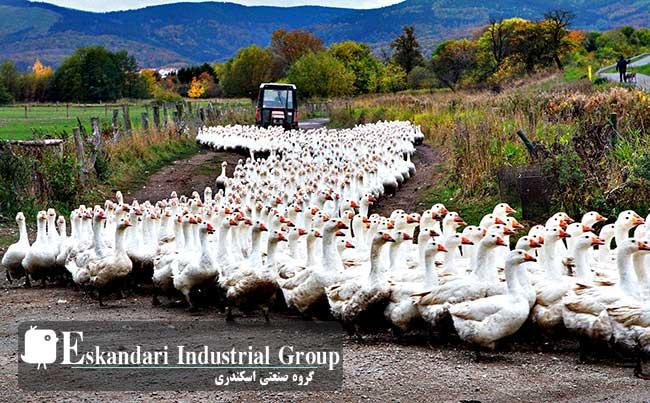 غاز-goose