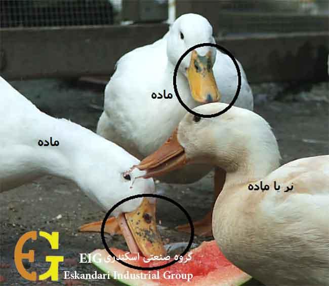 اردک نر و ماده