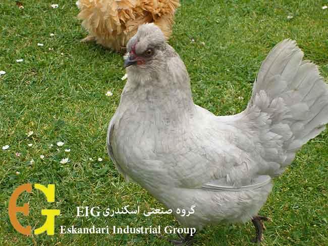 araucana_chickens_yippee
