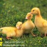 پنج واقعیت درباره اردک