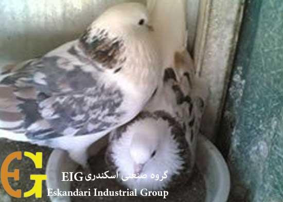 پرورش-کبوتر