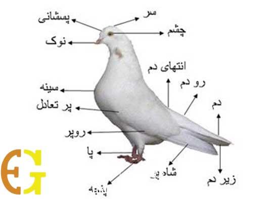 کبوتر-شاهی-سفید