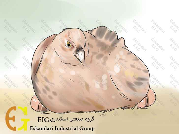 Breed-and-Incubate-Pheasants-Step-19-چگونگی-پرورش-و-جوجه-کشی-قرقاول-