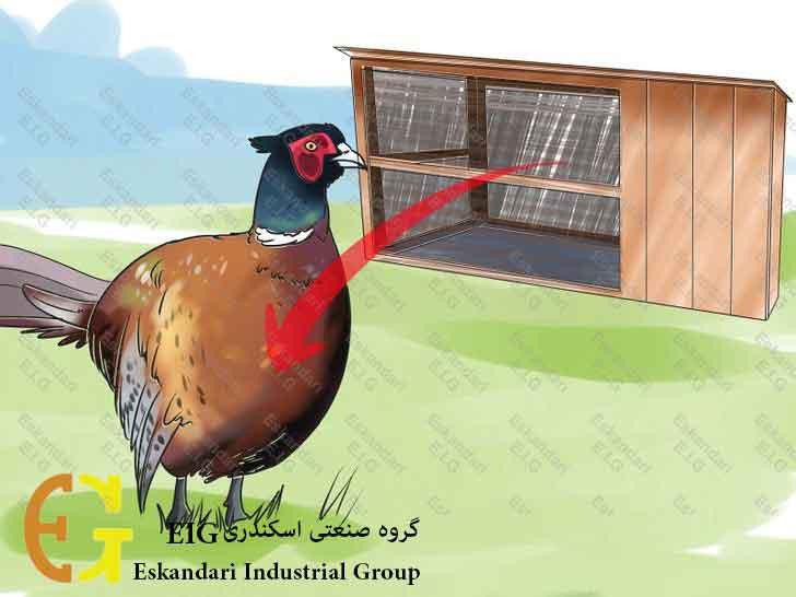 Breed-and-Incubate-Pheasants-Step-20-چگونگی-پرورش-و-جوجه-کشی-قرقاول-