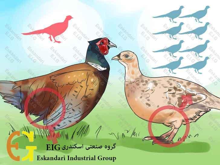 Breed-and-Incubate-Pheasants-Step-3-چگونگی-پرورش-و-جوجه-کشی-قرقاول-