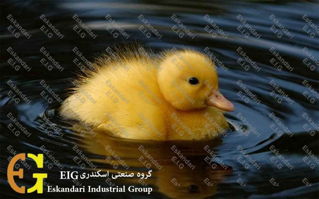 جوجه کشی تخم اردک - duck