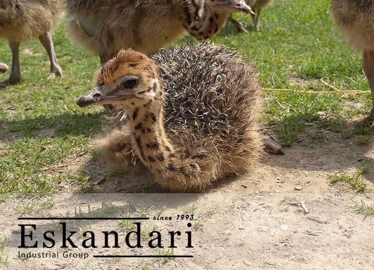 بچه شترمرغ