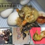 آموزش جوجه کشی از اردک