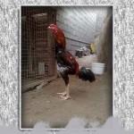 خروس-لاری-larry-rooster-04