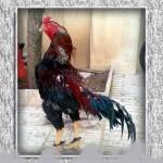 خروس-لاری-larry-rooster-05
