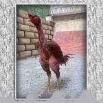 خروس-لاری-larry-rooster-07