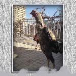 خروس-لاری-larry-rooster-11