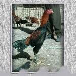 خروس-لاری-larry-rooster-18