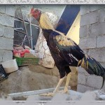 خروس-لاری-larry-rooster-19
