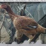 خروس-لاری-larry-rooster-22