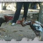 خروس-لاری-larry-rooster-23