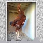 خروس-لاری-larry-rooster-25