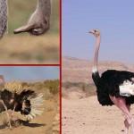 تاریخچه پرورش شترمرغ