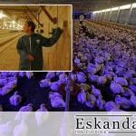 تاثیر نور در پرورش مرغ گوشتی