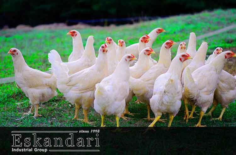 پرورش مرغ گوشتی