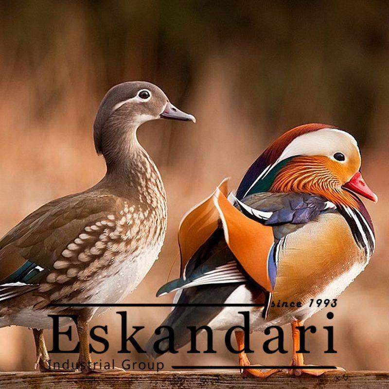 تغذیه اردک ها