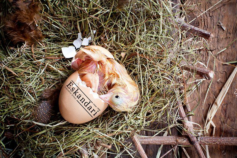 دهیدراسیون جوجه درحال خروج از تخم