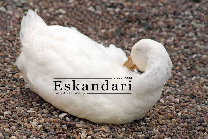 جوجه کشی اردک : اردک سفید
