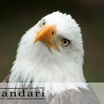 عکس عقاب - پرندگان شکاری و گونه های آن