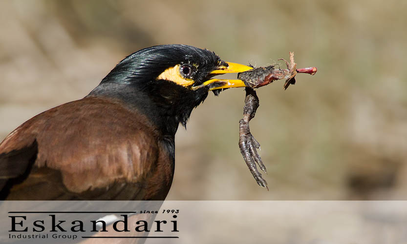 تغذیه مرغ مینا از جانداران - نگهداری و تولید مثل مرغ مینا