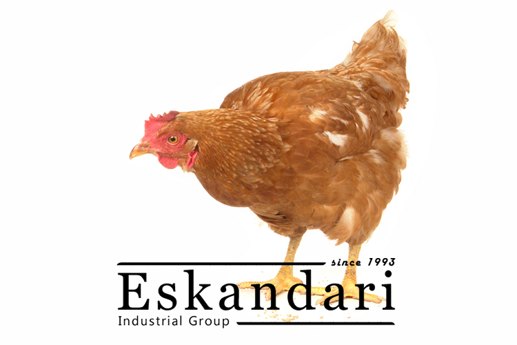 تاریخچه پرورش مرغ تخمگذار