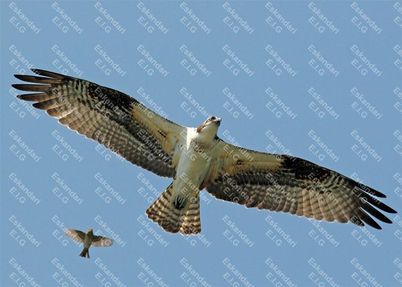 عقاب ماهی گیر در حال پرواز