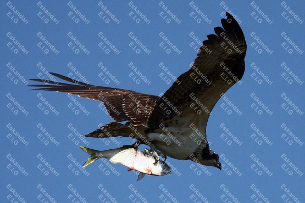 عقاب ماهی گیر در حال شکار ماهی