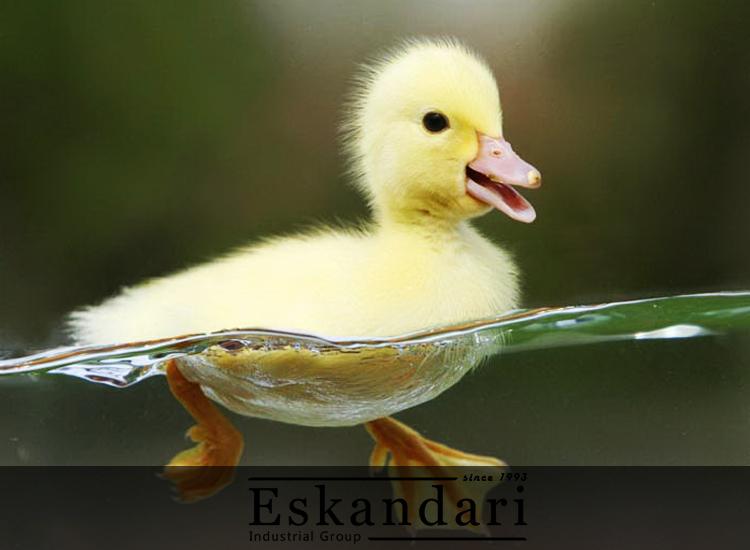 مدیریت پرورش اردک و فضای لازم پرورش