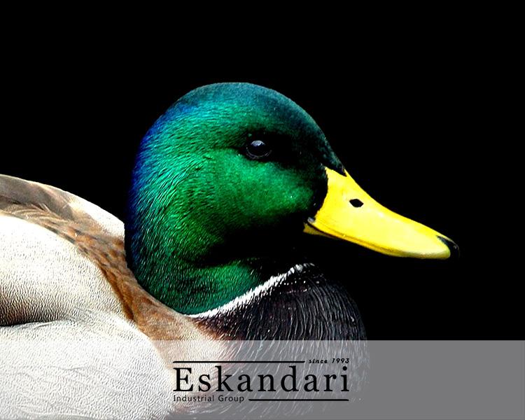 پرورش اردک و غاز