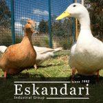 غاز و اردک