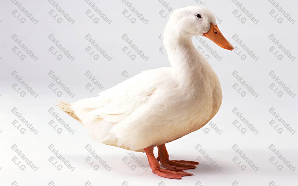 خصوصیات مرفولوژیک اردک
