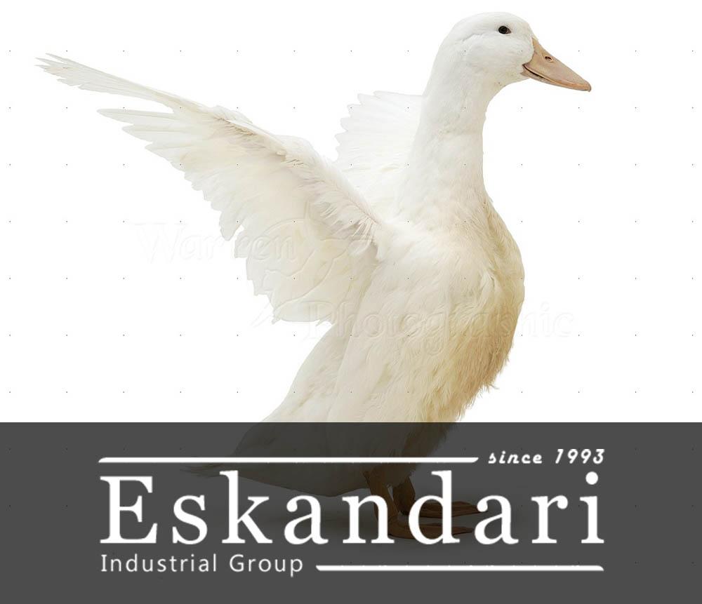 اهمیت پرورش اردک