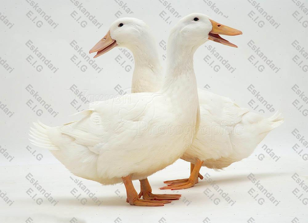 تعیین جنسیت اردک