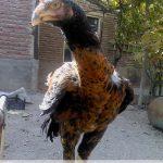 آناتومی مرغ لاری