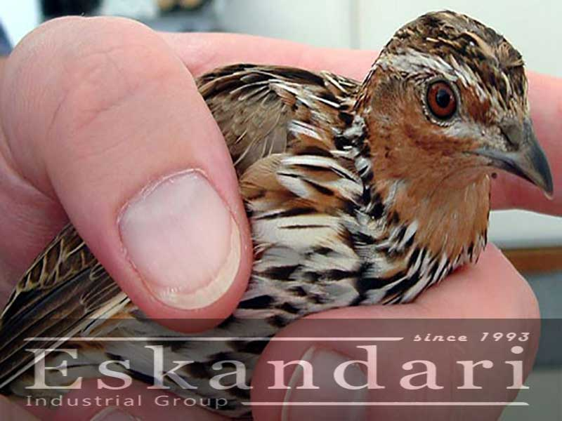 پرورش و جوجه کشی پرنده بلدرچین – قسمت ششم