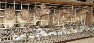 بلدرچین مولد - egg incubator