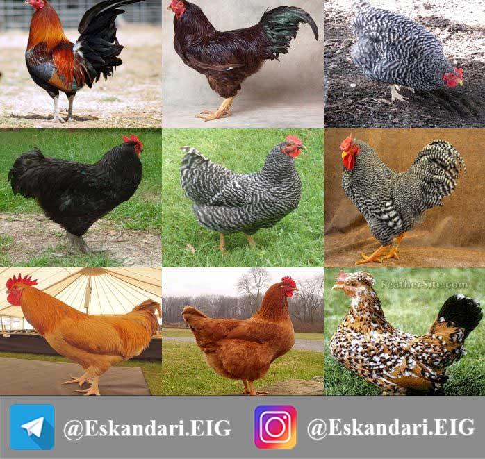 انواع نژاد مرغ