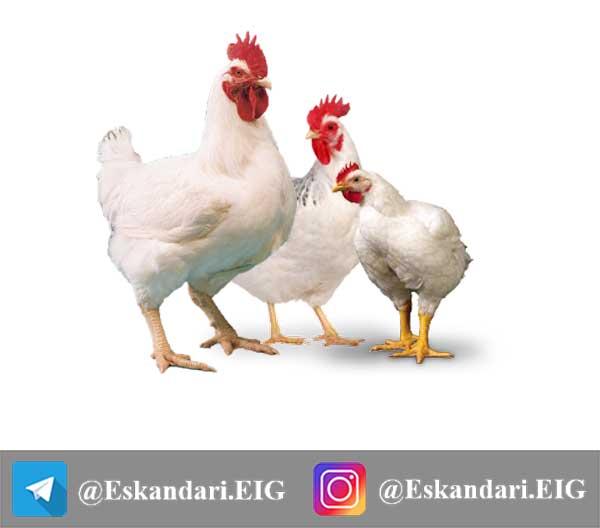 در مورد مرغ