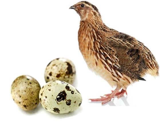 تخم نطفه دار پرورش بلدرچین
